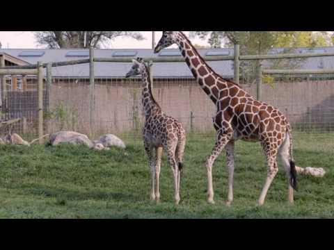 Thumbnail: Giraffe Birth at Blank Park Zoo