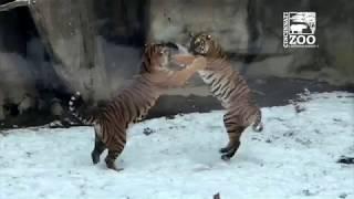 Animals, Including Fiona, Enjoying a Snow Day - Cincinnati Zoo
