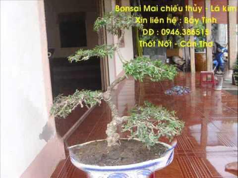 Bonsai Mai chieu thuy Bay Tinh