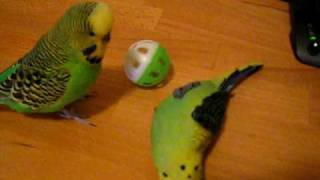 Sparky the budgie playing