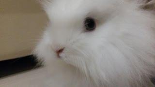 Ангорский кролик . Angora white rabbit