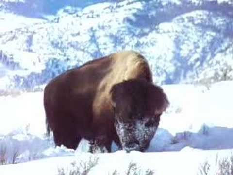 Yellowstone Winter Bison Feeding