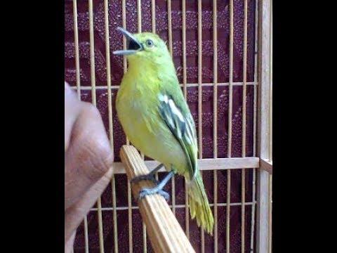 burung SIRPU/SIRTU BIRAHI TINGGI