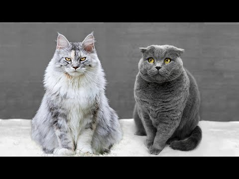 Maine Coon vs British Shorthair - What Are the Differences?