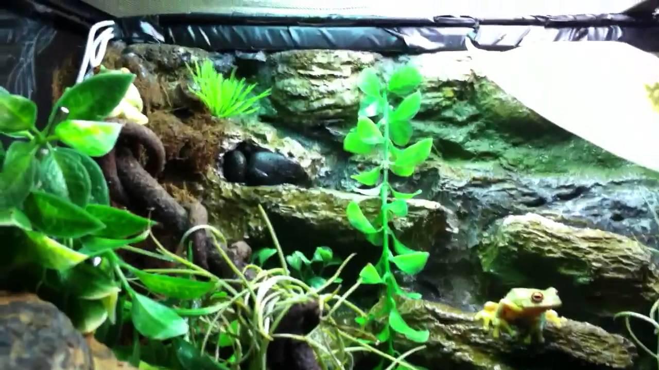 My New Red Eyed Tree Frog Setup Youtube