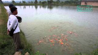 Feeding Koi at Mudpond Jonggol Bogor West Java Indonesia