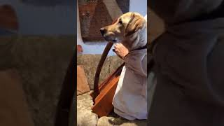 Nandu, the dog, plays Happy Birthday on the harp.