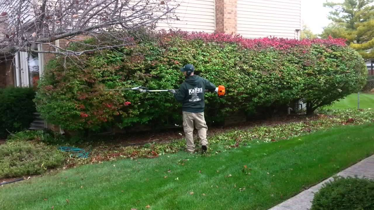 Trimming Burning Bush With Stihl Pro Hegde Shears Youtube