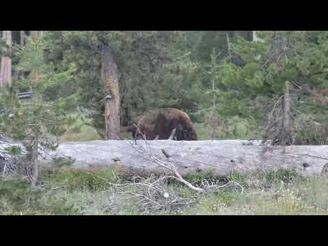 Grizzly Bear at Yellowstone