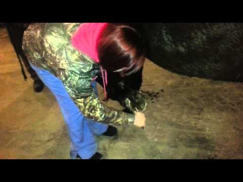Skill 41: Cleaning a horse hoof