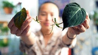 The BEST Method to Propagate a Philodendron Micans