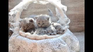 Adorable 5 weeks old British shorthair kittens playing!