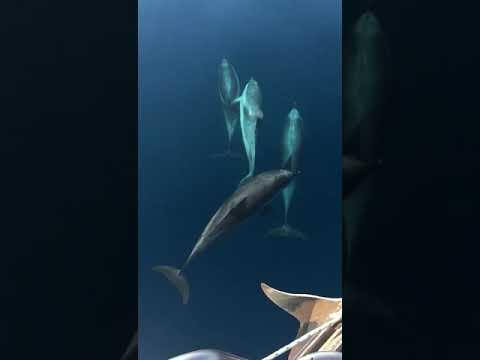 Delfini In Navigazione A Bordo Di Invictus Sicily