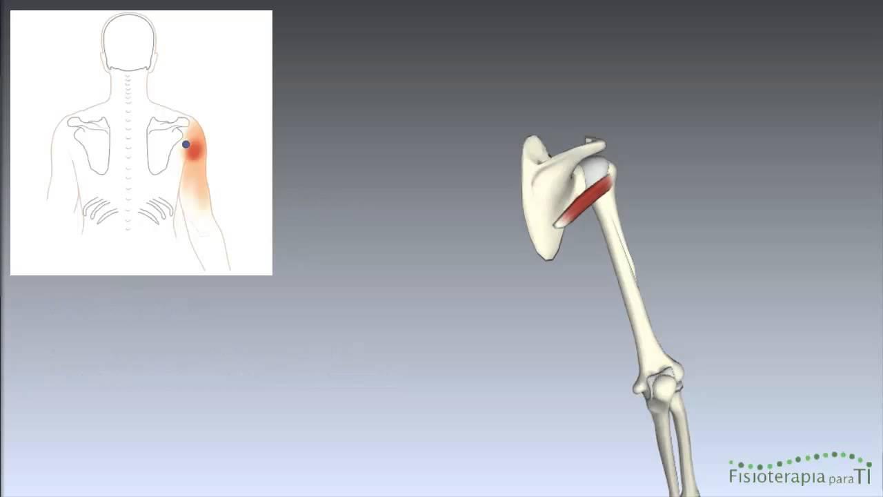 Músculo Redondo menor. Anatomía interactiva Tema 1 - Fisioterapia ...