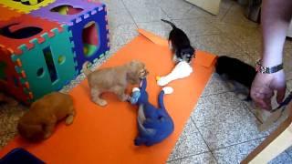 English Cocker Spaniel Welpen / Puppies H-wurf 6 Wochen