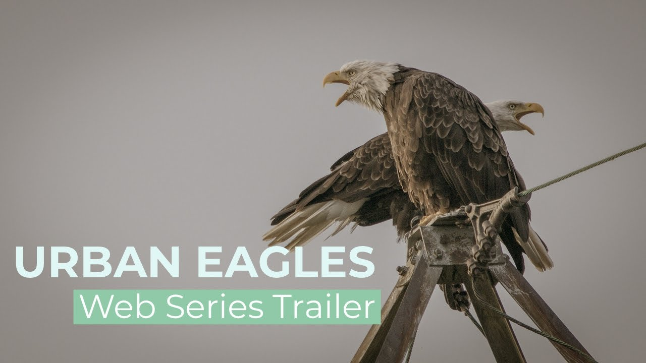 Urban Eagles Web Series Trailer : The Bald Eagles of the Capital Region