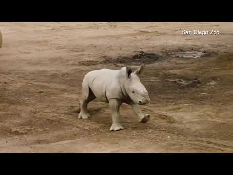 San Diego Zoo's baby rhino charges into life at the park