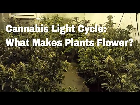 Cannabis Light Cycles | What Is The Difference Between Veg and Flower? What Makes Weed Flower?