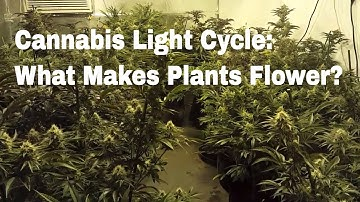 Cannabis Light Cycles Documentary | What Is The Difference Between Veg and Flower? What Causes Bloom