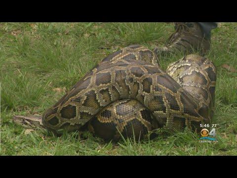 The 2020 Florida Python Challenge Gets Underway.