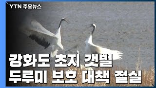 유일한 갯벌 먹이활동 두루미...보호 대책 절실 / YTN