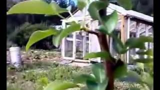 видео Завелась тля на яблоне. Как бороться с вредителем