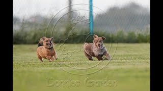 Dogs playing at the dog park #263