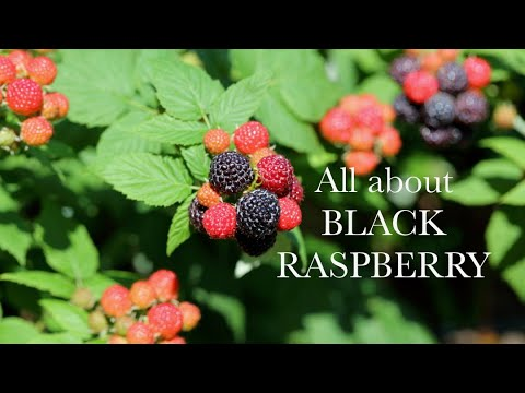 All You Need To Know About Black Raspberries