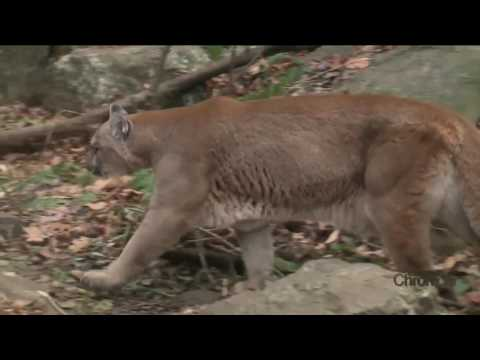 Monday, December 5th: Mountain Lions in New Hampshire? Part II