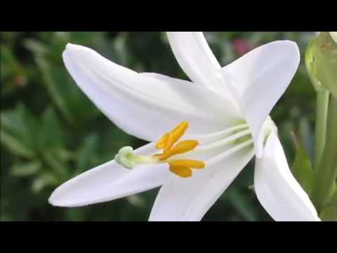 12 Types Of Beautiful White Lily Flowers Youtube