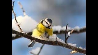 Птица синица - Bird tit