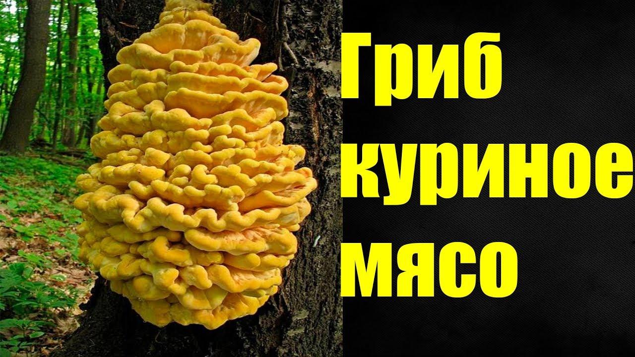 серно желтый гриб
