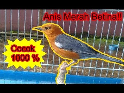 Pancing bunyi anis merah anda dengan suara burung anis merah betina ini. Pasti Ampuh