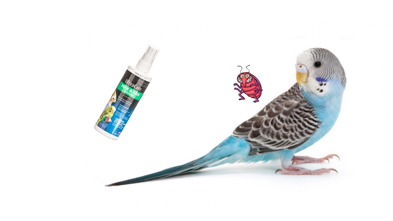 How to Cure Mite and Lice on Pet Birds - YouTube