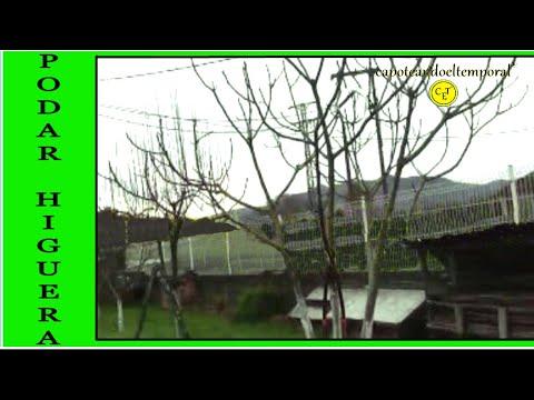 COMO PODAR UNA HIGUERA (How to prune a fig tree)