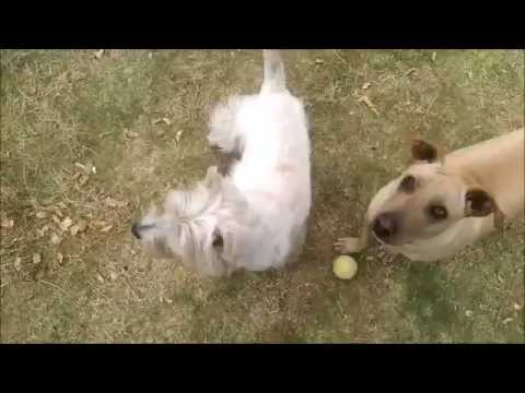 Our Rescue Pup Trying to Share His Ball With Our Westie