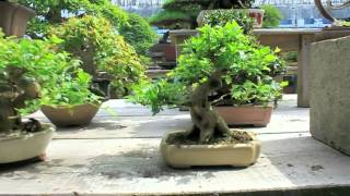 Bonsai Journey Japan - Seeking Light - Part 1