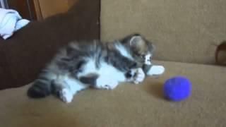 Приколы. Смешные кошки. Котята персы и экзоты.