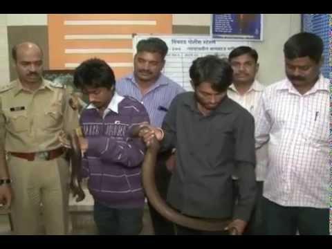 Mandul Snake| MPC News | Pune | Pimpri-Chinchwad