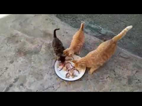 Hungry meowing kittens eat meat and want more