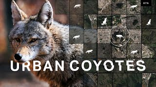 Meet the urban coyotes living in your cities