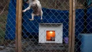 Rat Terrier Hop Dog