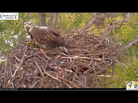 Trio Eagle Nest Stewards UMRR ~ Sub Adult Visits Nest; Valor Dad on Branch 11.1.17 - 동영상