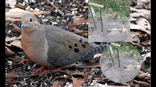DIY Simple Bird Trap / Catch dove by simple Trap That work 100%