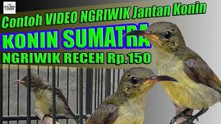 Contoh Ngriwik konin jantan sumatra Harga rp.150