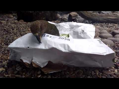Kea parrot playing with paper bag