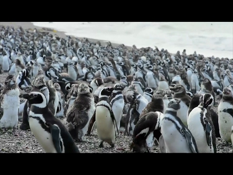 Over a million penguins gather to migrate from Argentine peninsula