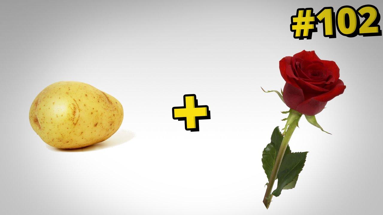 Jak sadzić róże - sposób z ziemniakiem