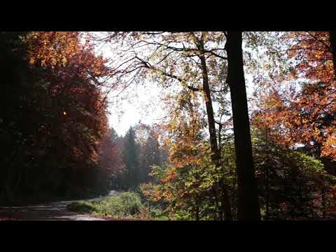 Leaves Falling in a Beautiful Autumn Forest / Sound of Leaves and Wind 1 Hour