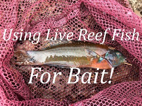 Using Live Reef Fish For Bait!